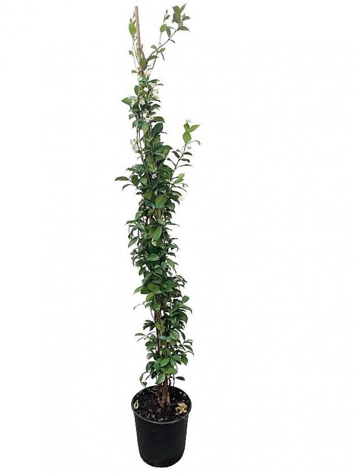 Tracherlospernum Jazminoide 180cm