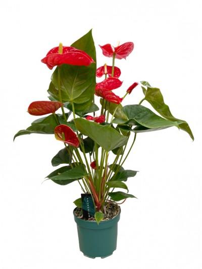 Anthurium rojo en maceta