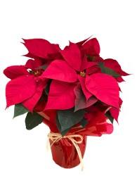 Flor de pascua en maceta decorada