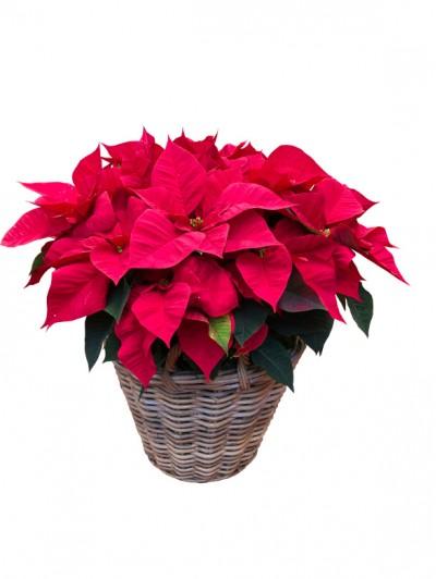 cesta de flores de pascua roja en ratan