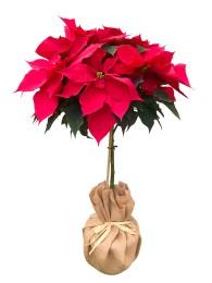 Poinsettia Arbol