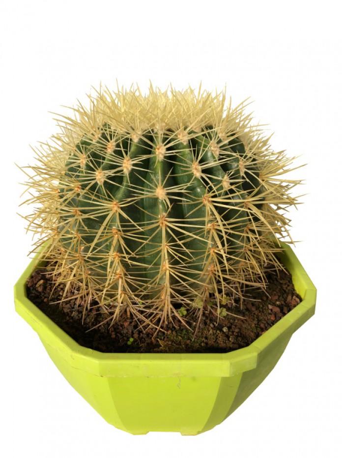 Cactus grusonii M25