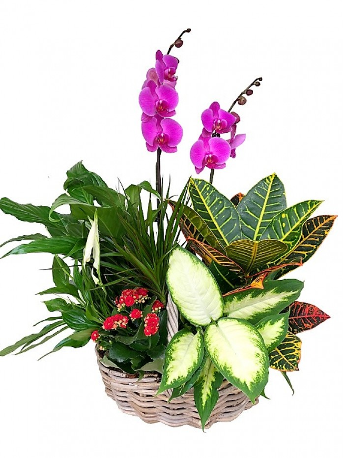 Cesta de plantas variadas Phalenopsis morada