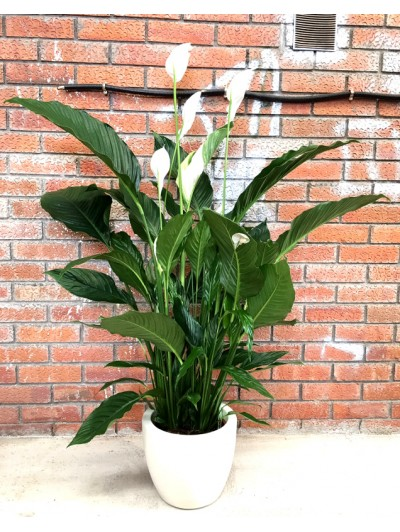 Spathiphyllum en resina (DISPONIBLE SOLO PARA MADRID)