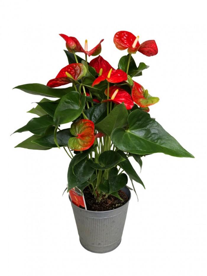 Anthurium en maceta decorativa