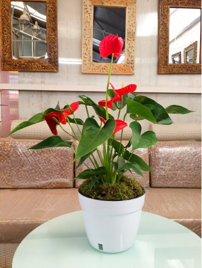 Anthurium con autorriego