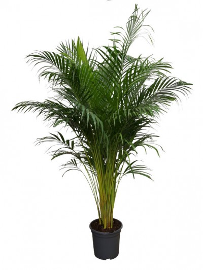 Areca M30(DISPONIBLE SOLO PARA MADRID)