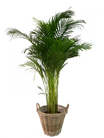 Areca en cesta(DISPONIBLE SOLO PARA MADRID)