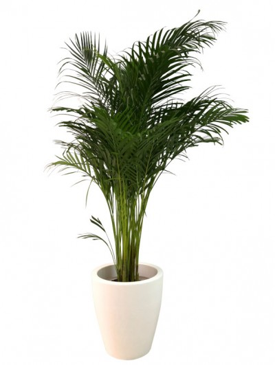 Areca en resina(DISPONIBLE SOLO PARA MADRID)