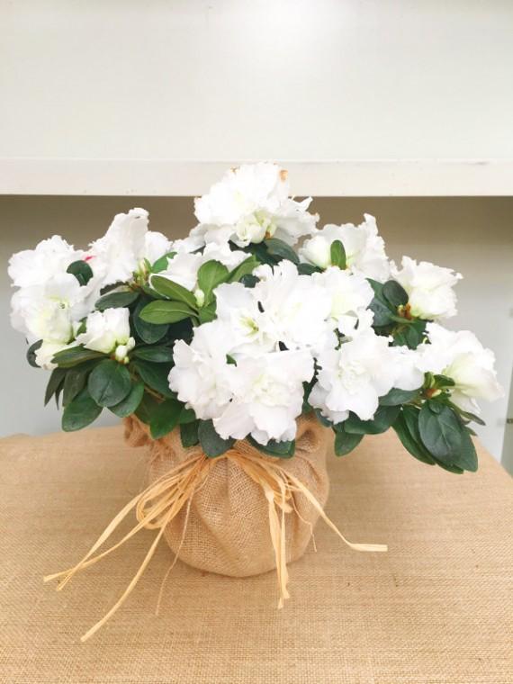 Azalea blanca en arpillera