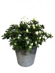 1 Azalea blanca en maceta decorativa