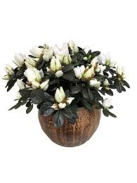 Azalea blanca en maceta decorativa