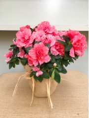 Azalea rosa en arpillera