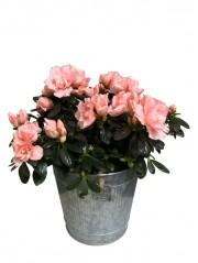 1 Azalea rosa en maceta decorativa