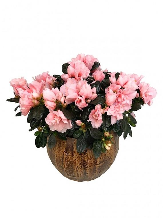 Azalea rosa en maceta decorativa