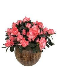 Azalea rosada en maceta decorativa
