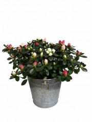 1 Azalea bicolor en maceta decorativa
