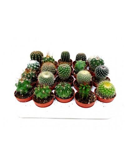 Bandeja de 20 cactus M5