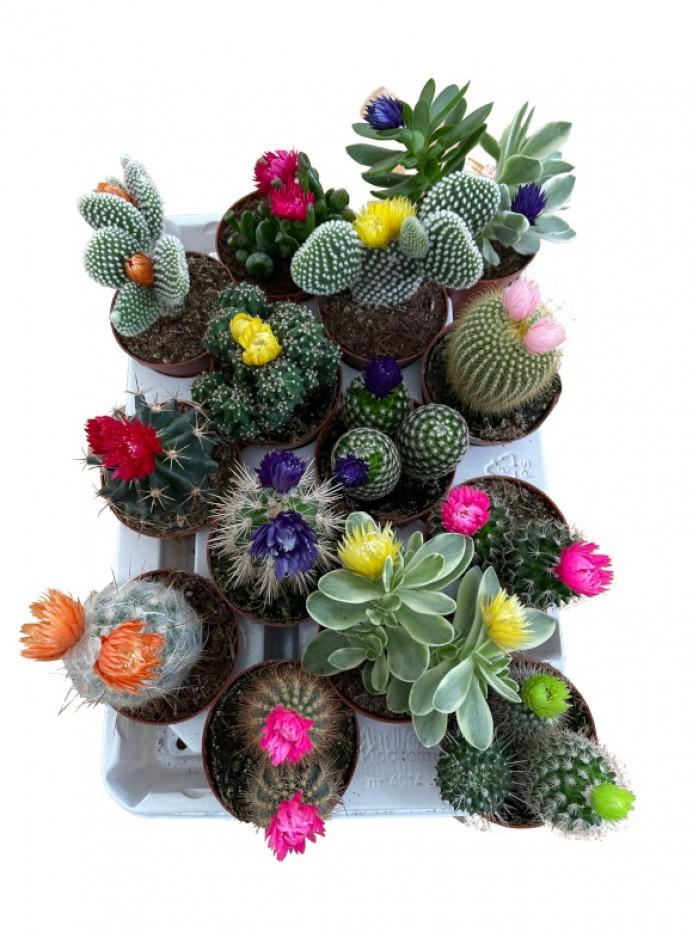 Bandeja de 14 cactus flor