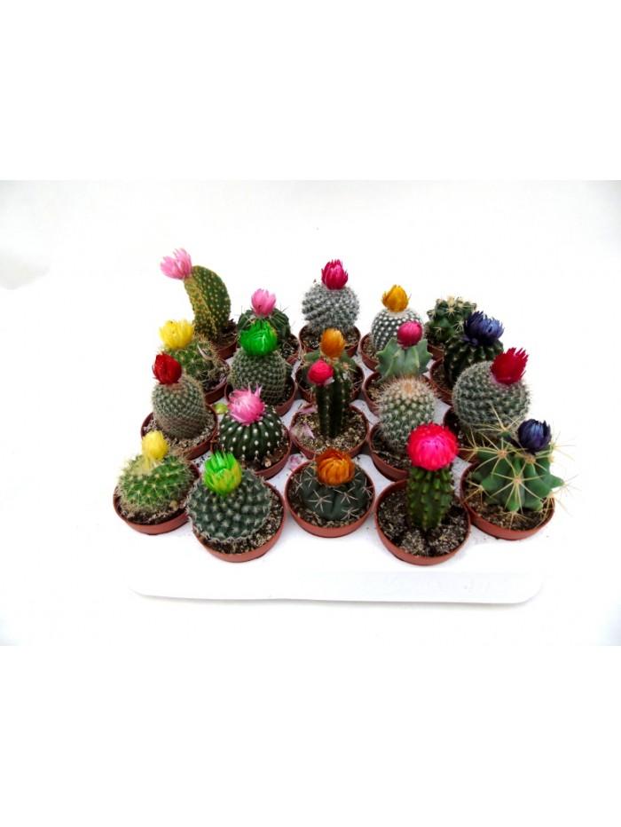 Bandeja de 20 cactus flor