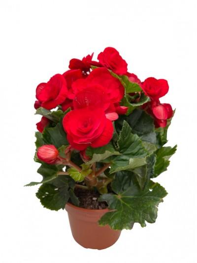 Begonia roja M14