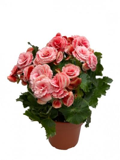 Begonia rosa M14