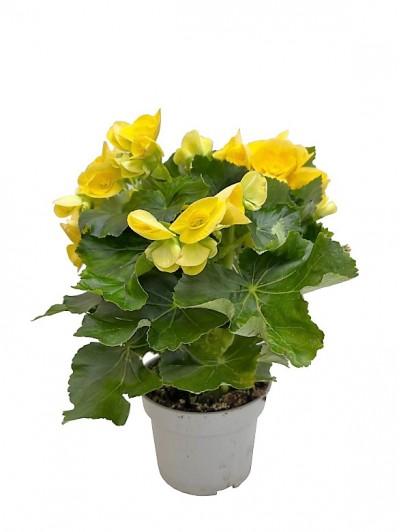 Begonia amarilla M14