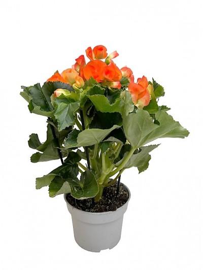 Begonia naranja M14