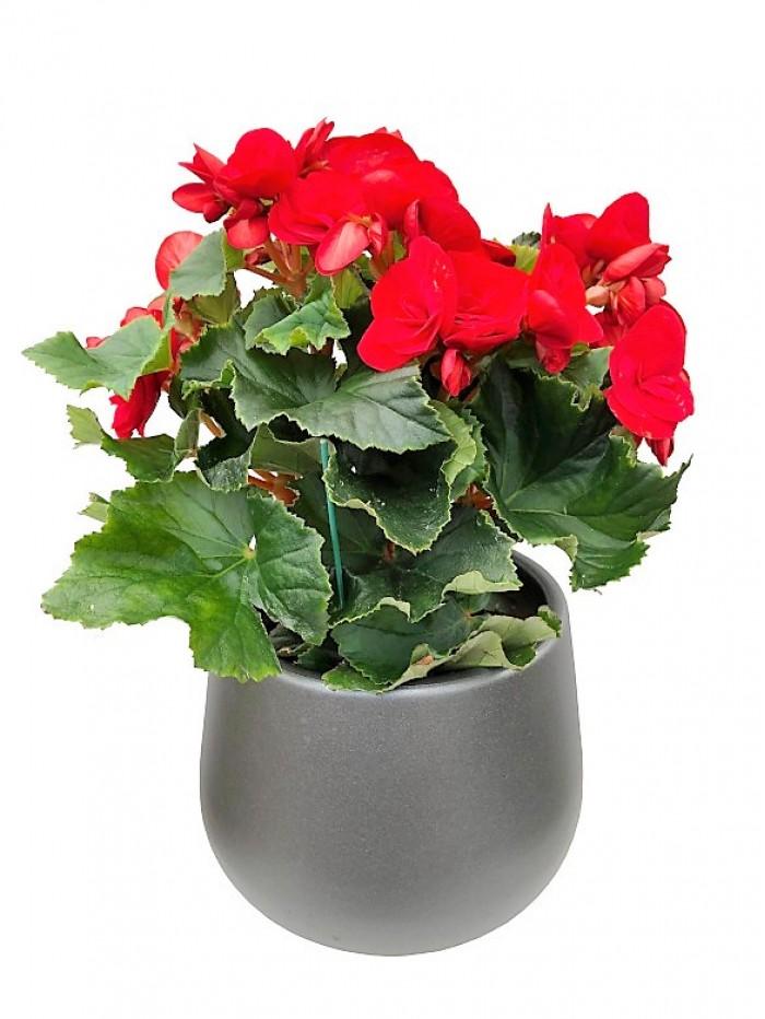 Begonia roja en cerámica