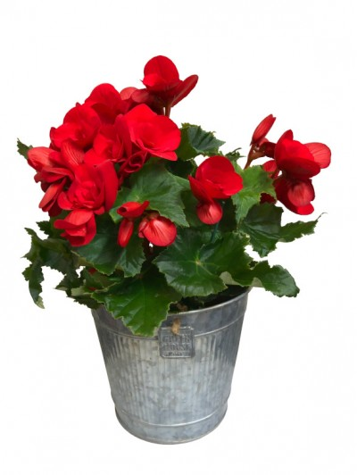 1 Begonia roja en latón