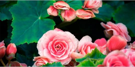 Mantenimiento y Cuidado de las Begonias