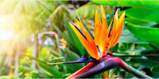 Strelitzia Reginae: hermosa flor Ave de Paraíso