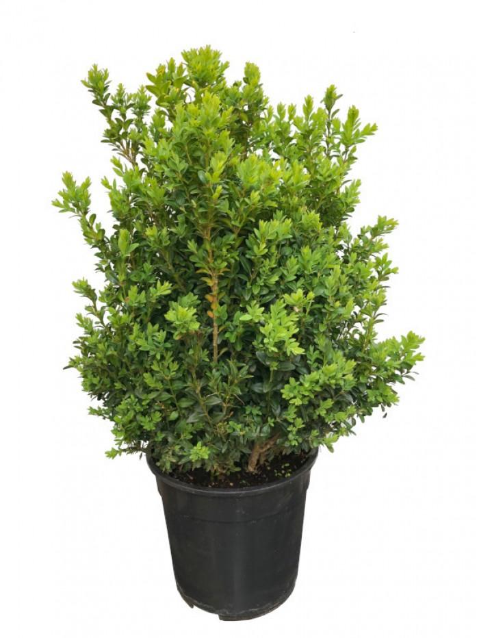 Boj arbusto 80CM(DISPONIBLE SOLO PARA MADRID)