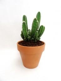 Cactus Antiradiacion