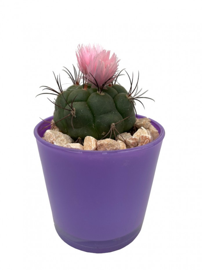 Cactus flor en cristal morado