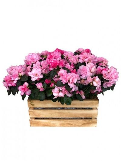 Cuatro azaleas fucsias caja madera
