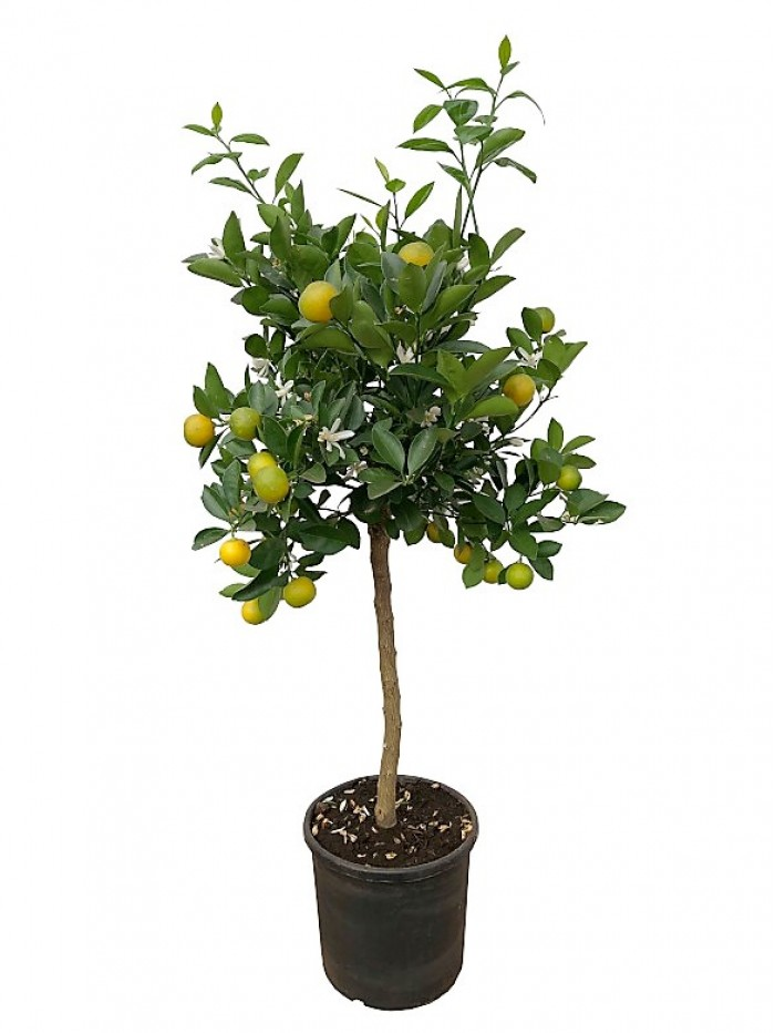 Naranjo calamondin arbolito