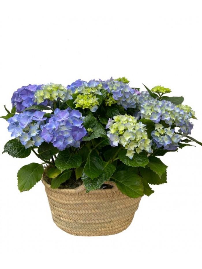 Cesta de dos hortensias azules en capazo