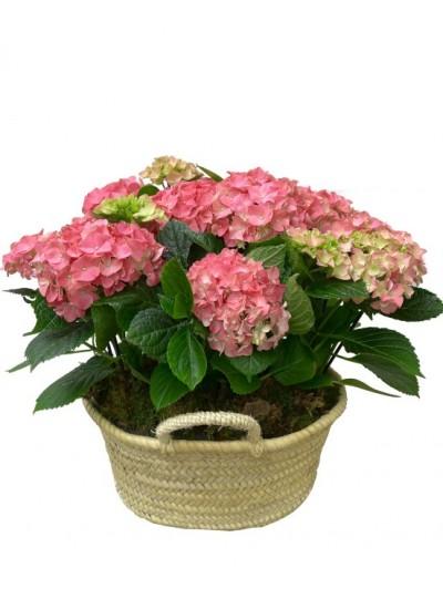 Cesta de dos hortensias rosas en capazo