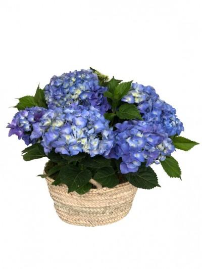 Cesta de una hortensia azul en capazo