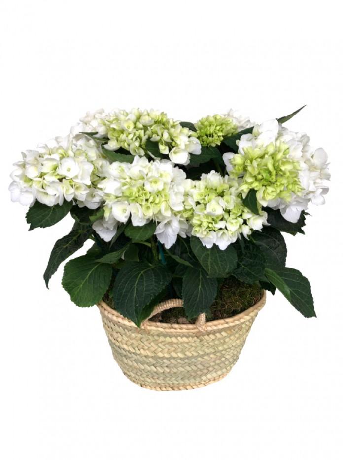 Cesta de una hortensia blanca en capazo