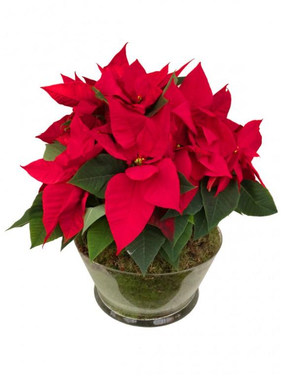 Centro de flores de pascua roja en cristal