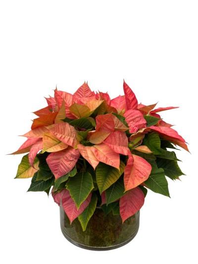 1 centro de flores de pascua color en cristal