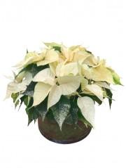 1 cesta de flores de pascua bicolor en laton