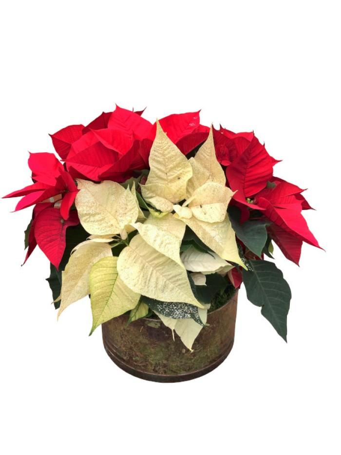 1 cesta de flores de pascua bicolor en cristal