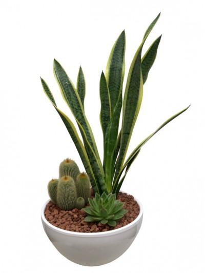 Sanseviera con cactus ceramica blanca