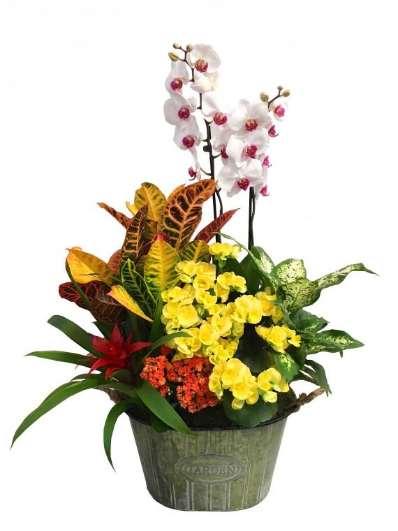 Cesta de plantas variadas Phalenopsis