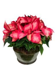 Centro de flores pascua bicolor