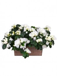 2 Azaleas blancas en maceta decorativa