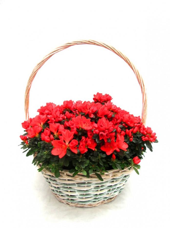 Cesta de 4 azaleas rojas